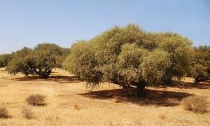 pure argane oil in Morocco